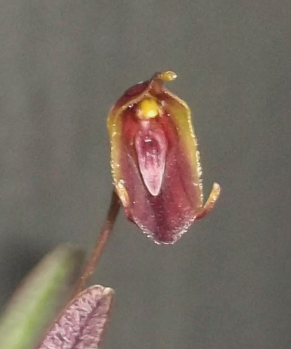 Trisetella triglochin Triset12