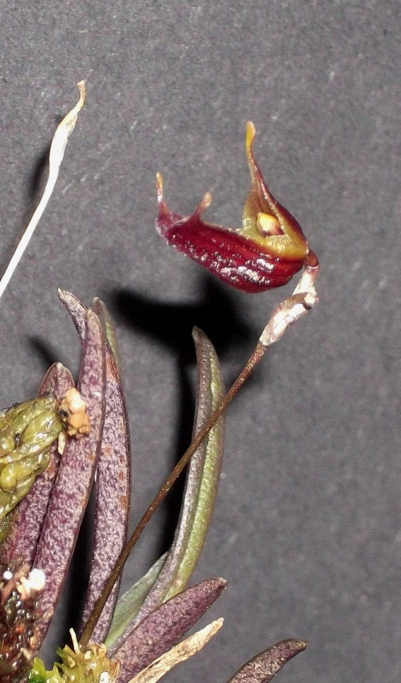Trisetella triglochin Triset13
