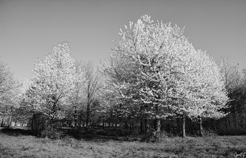 Cerisiers en fleurs _igp2814