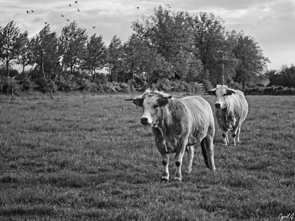 Les vaches Imgp4116