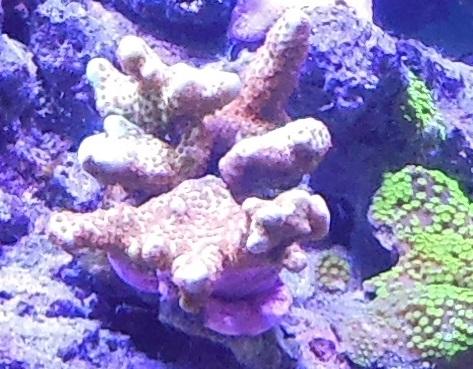 vos plus vieux coraux Sarame10