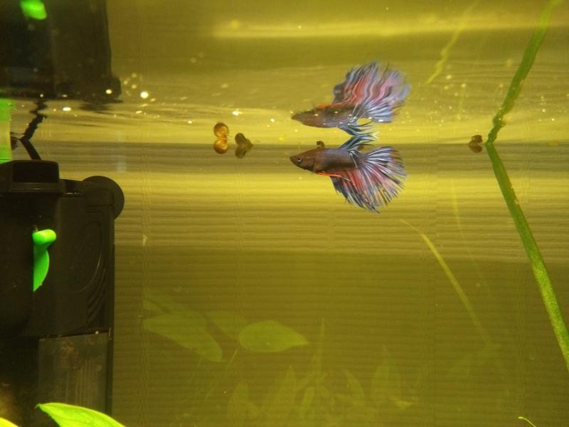 Jovi98: Betta Splendens Crowntail Img_2012