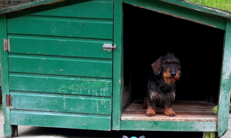 FILOU - teckel 7 ans - Refuge des Clochards Poilus à Tabanac (33) 20160414