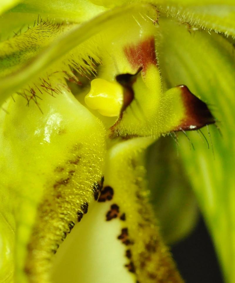 Phragmipedium caudatum 2016-017