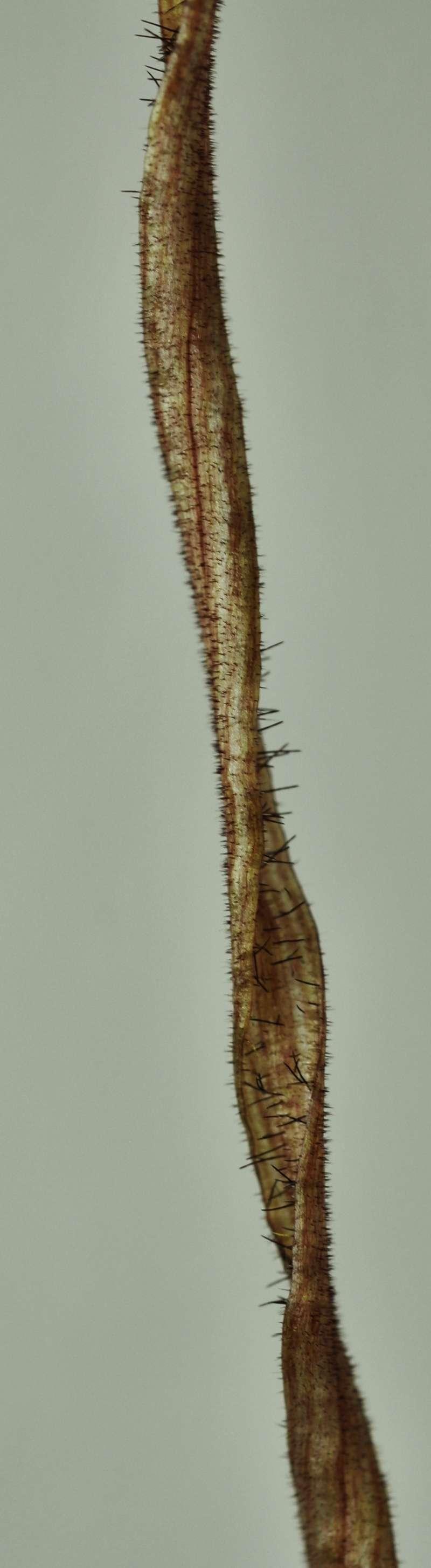 Phragmipedium caudatum - Page 2 2016-019