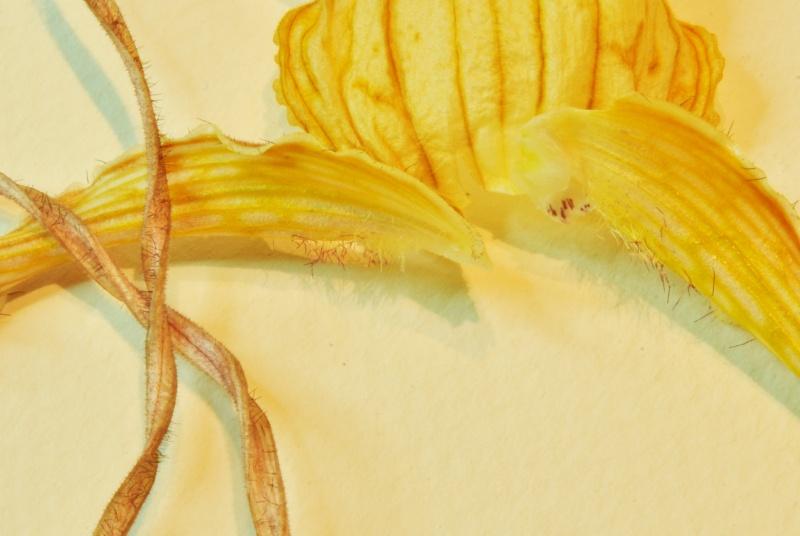 Phragmipedium caudatum - Page 2 2016-029