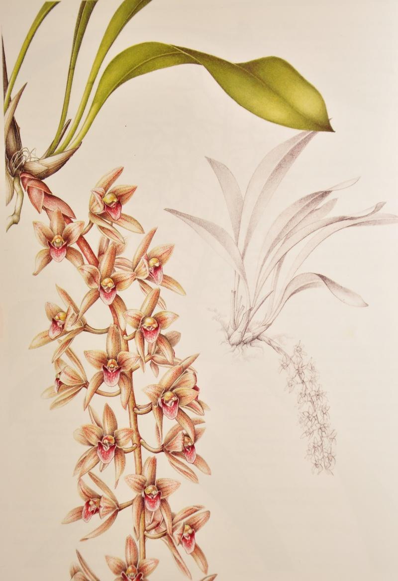 Cymbidium devonianum xCliff Hutching's 'New Horizon' Dark Leaves Cymbid16