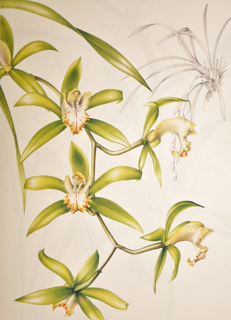 Cymbidium devonianum xCliff Hutching's 'New Horizon' Dark Leaves Cymbid17