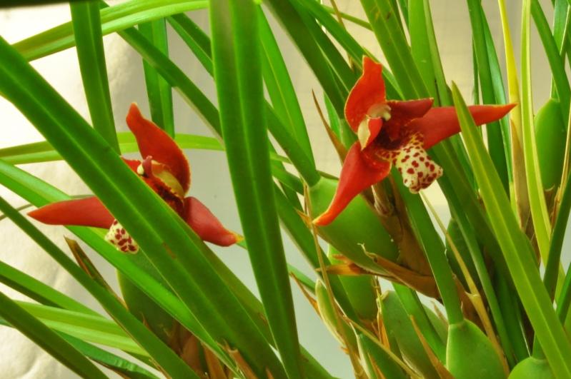 Maxillaria tenuifolia Maxill10