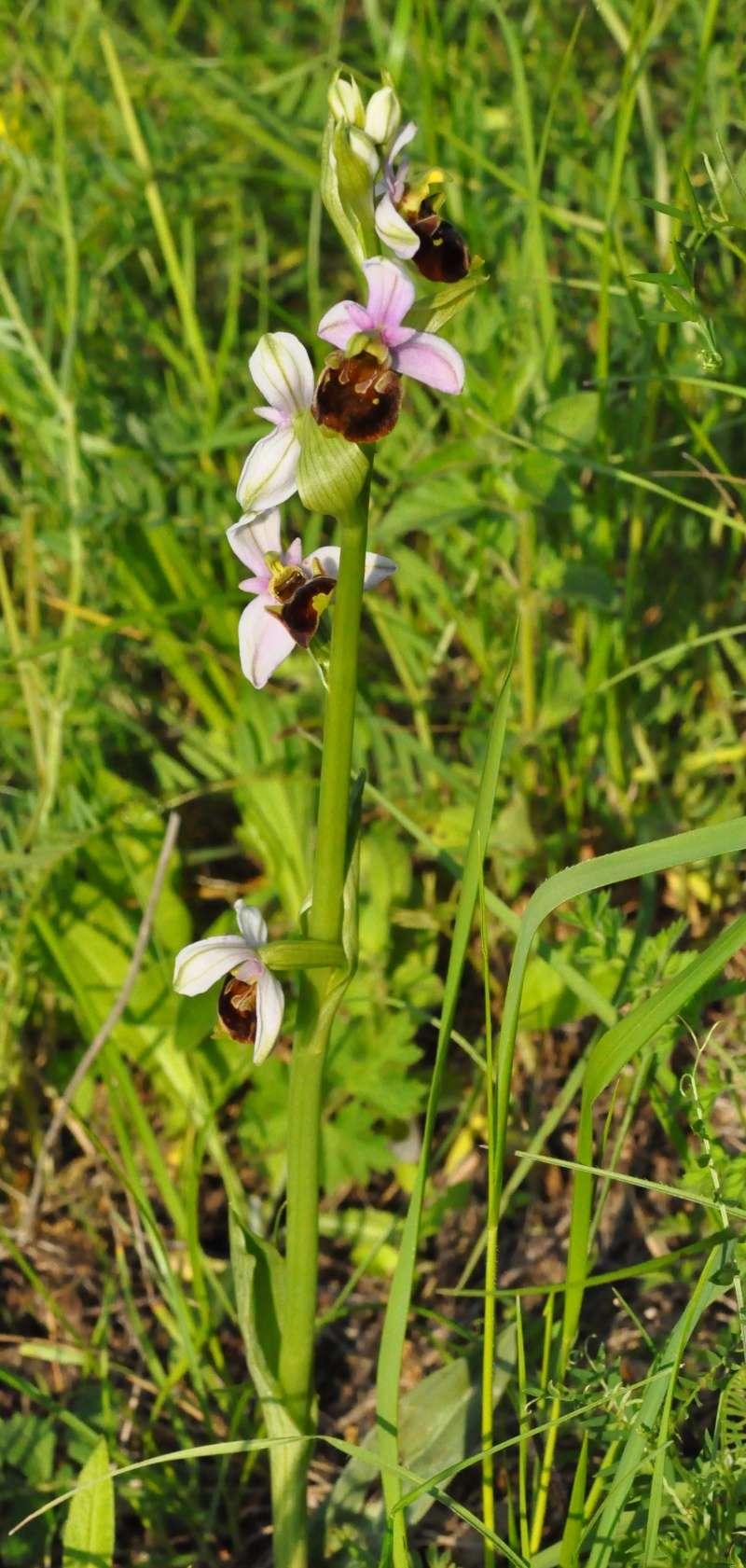 Orchidées indigènes Ophrys10