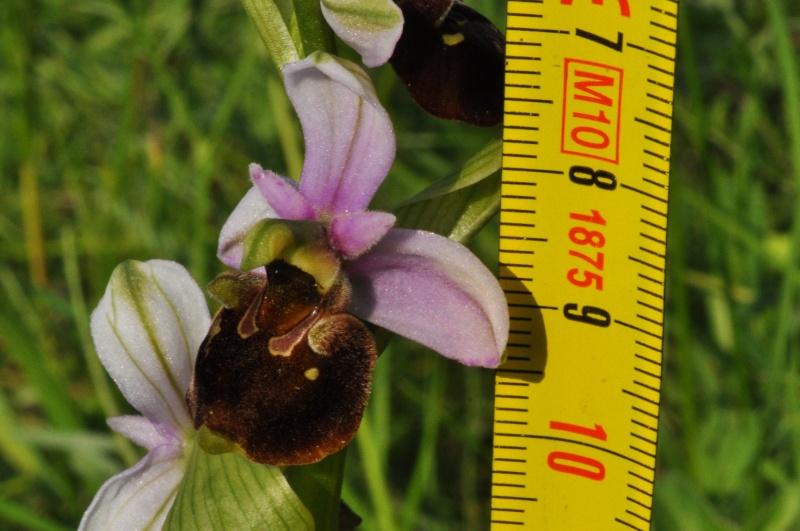 Orchidées indigènes Ophrys11