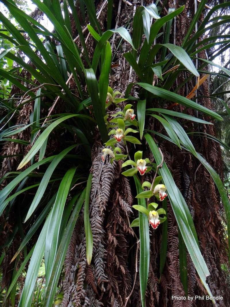 Cymbidium devonianum xCliff Hutching's 'New Horizon' Dark Leaves Orchid10