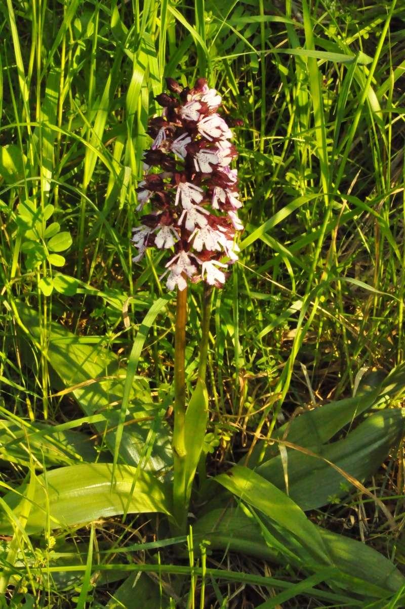Orchidées indigènes Orchis13