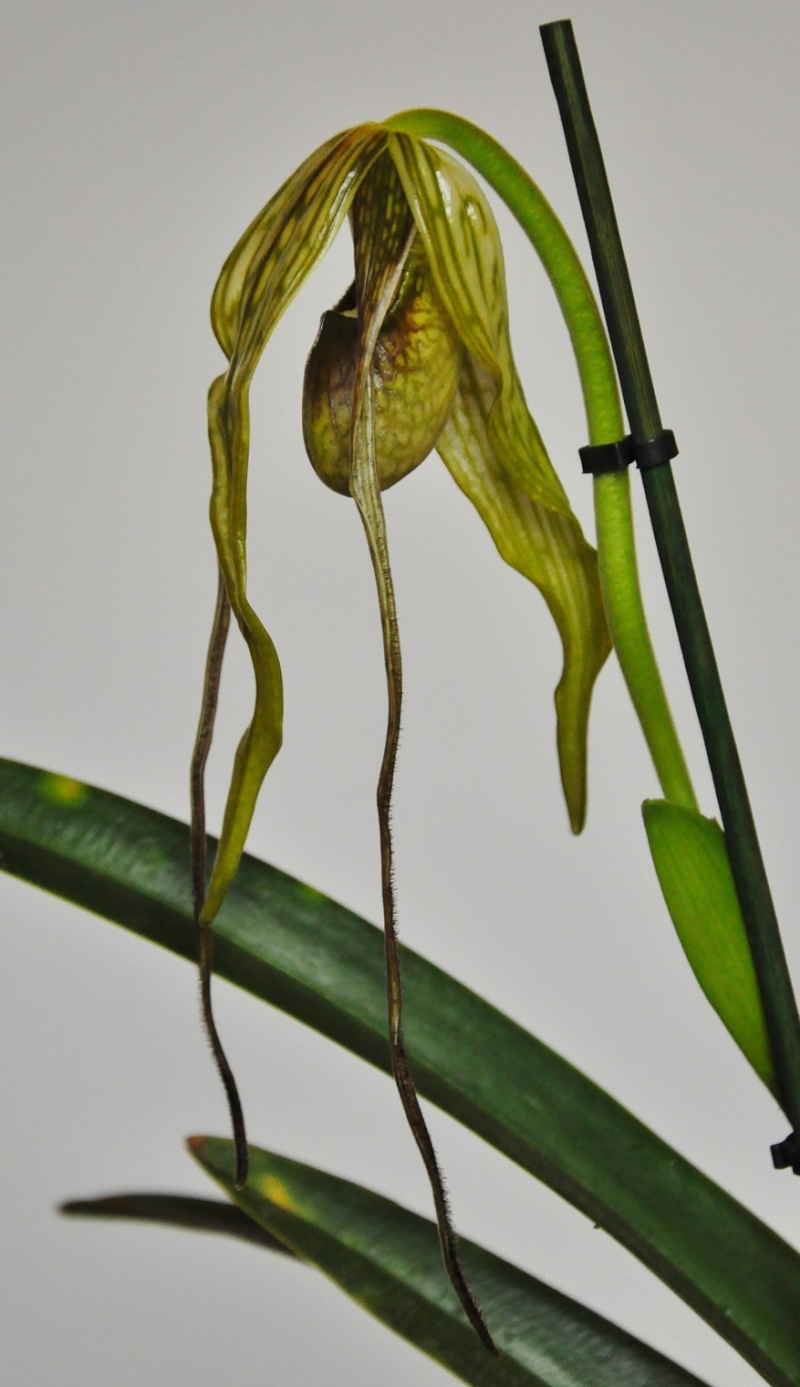 Phragmipedium caudatum Phragm10