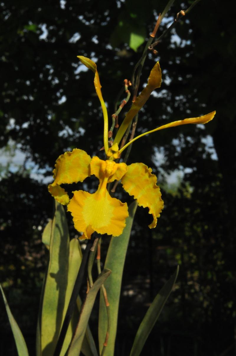 Psychopsis papilio var. xanthina Psycho13