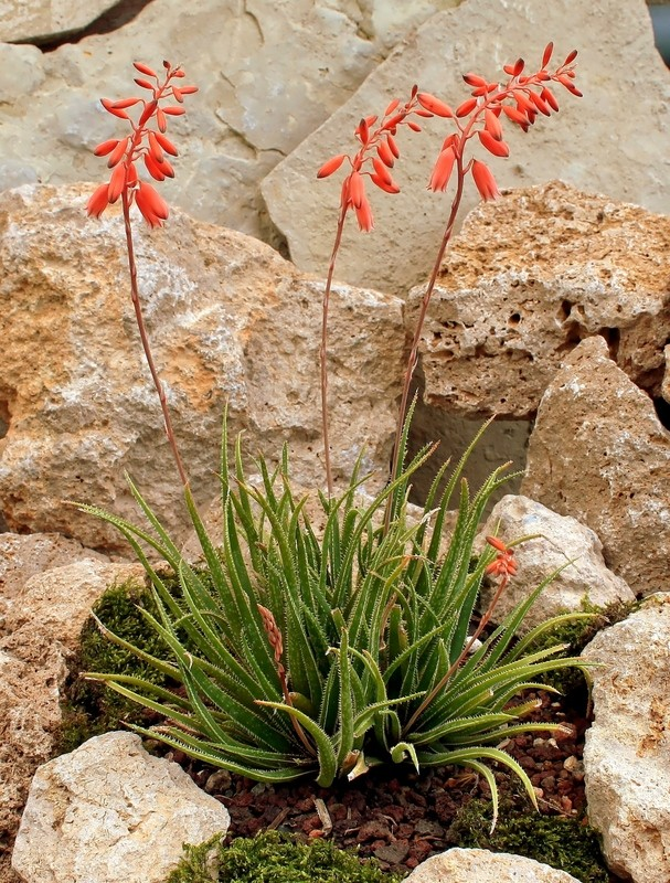 Aloe bellatula Aloe_b11