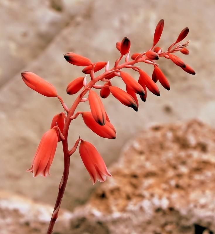 Aloe bellatula Aloe_b12