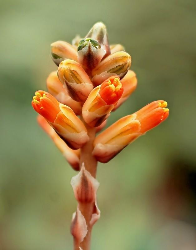 Aloe haworthioides Aloe_h10