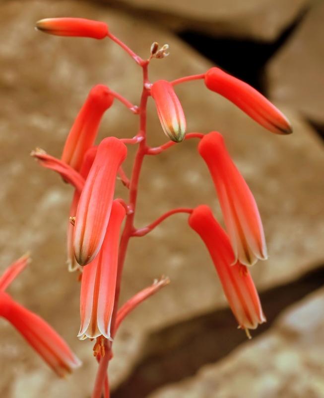 Aloe rauhii Aloe_r10