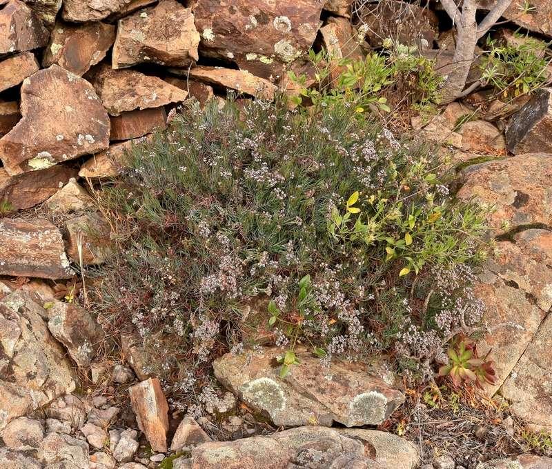 Dicheranthus plocamoides Dicher11