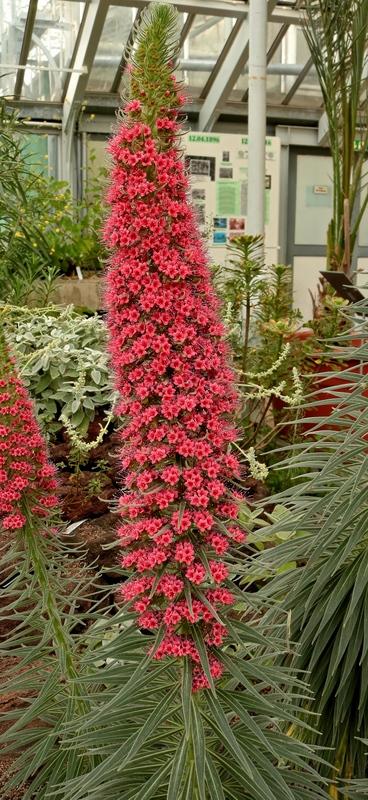 Echium wildpretii - Seite 5 Echium12