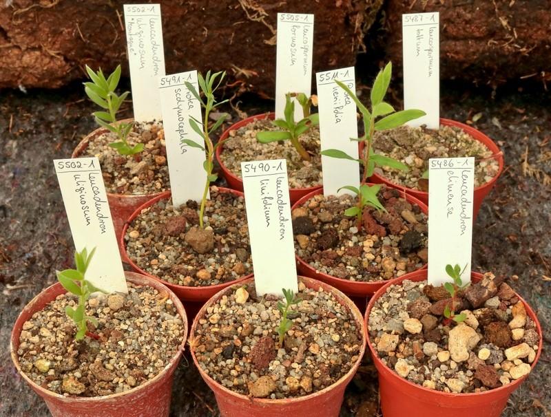 Wer beschäftigt sich mit Proteen-Gewächsen? - Seite 3 Protea10