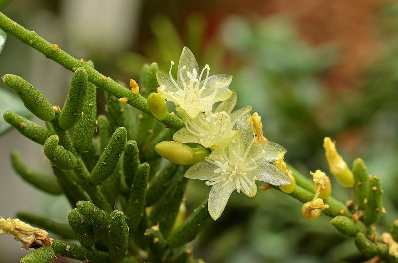 Rhipsalis mesembryanthemoides Rhipsa10