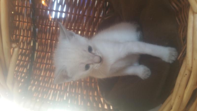 Mistral, mâle type européen blanc/crème né 03/03/2016 20160434
