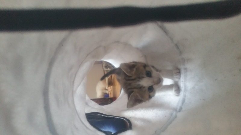 Malabar, mâle type européen tabby marbled et blanc né 03/03/2016 20160459