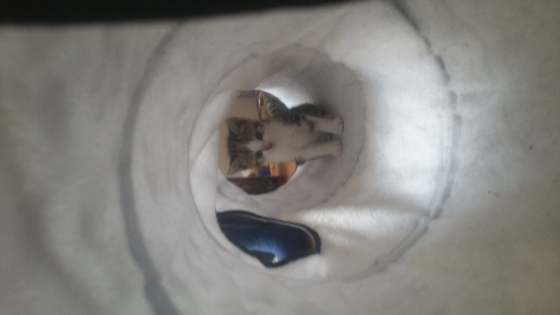 Malabar, mâle type européen tabby marbled et blanc né 03/03/2016 20160460