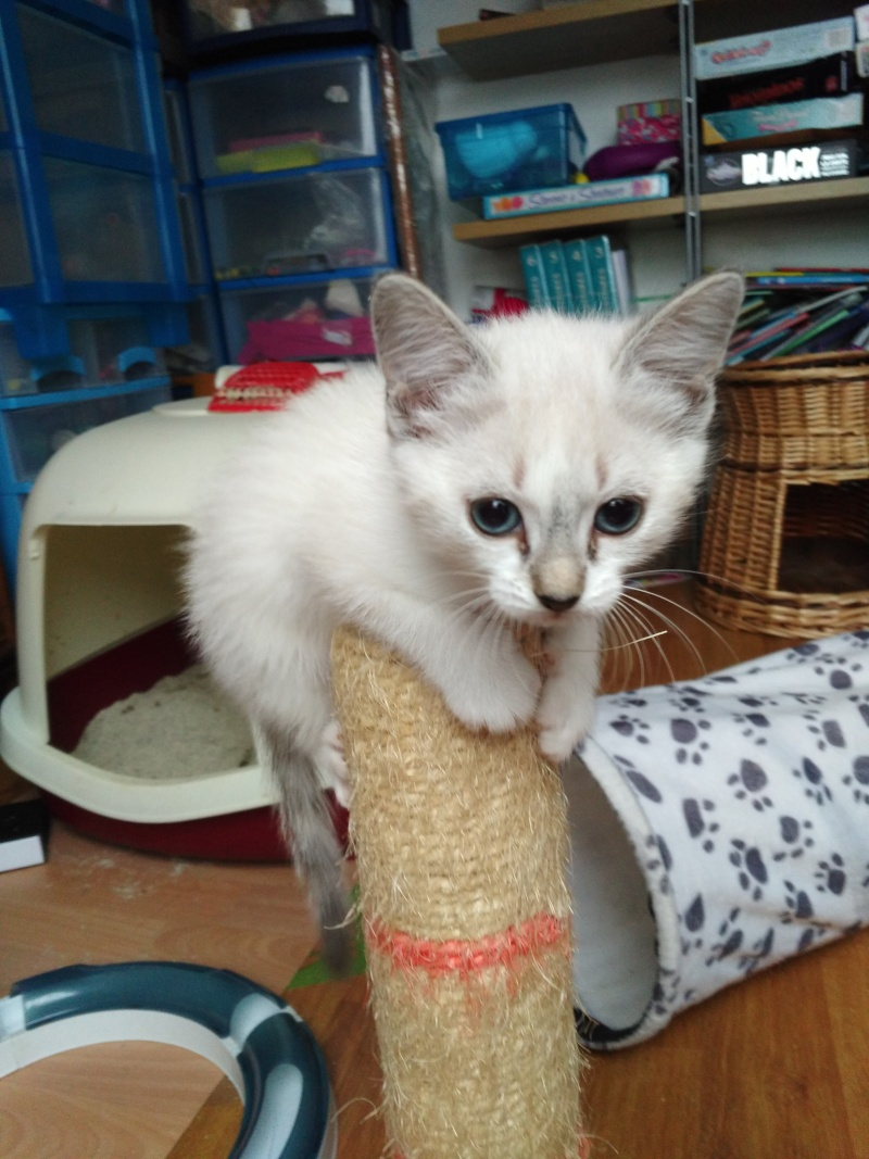 Mouna, femelle type européenne blanche/crème née 03/03/2016 Img_2014