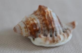 Cymatiidae Gutturnium muricinum - (Röding, 1798) Dsc_4112