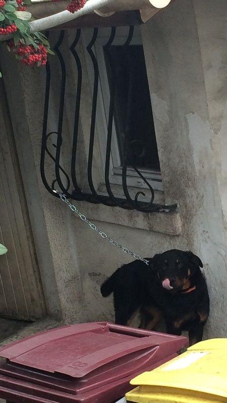 Lascaux chiot beauceron LOF né en octobre 2015 Img_6211