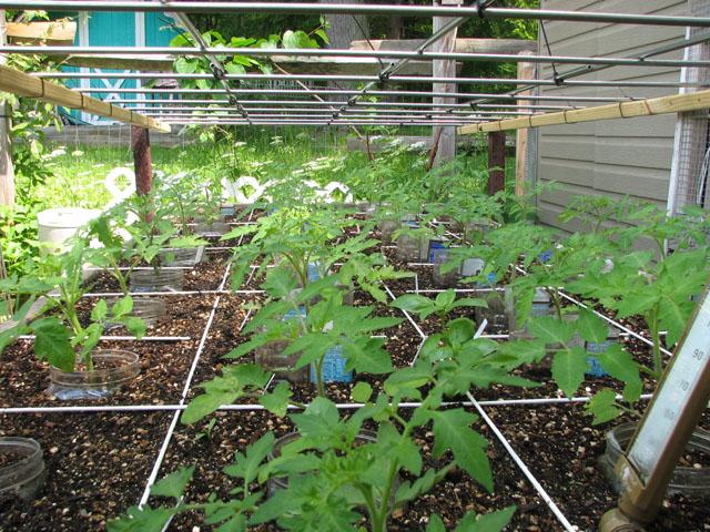 tomato canopy 1014