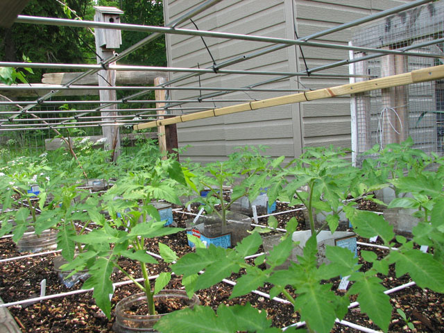 tomato canopy 1113