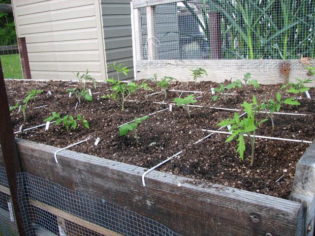tomato canopy 316