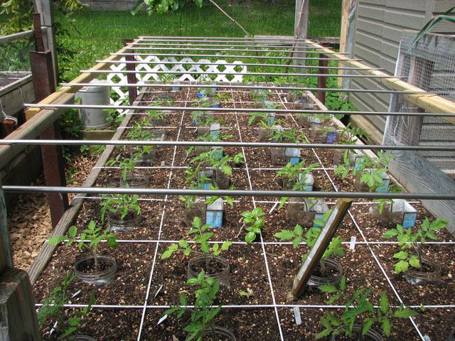 tomato canopy 715
