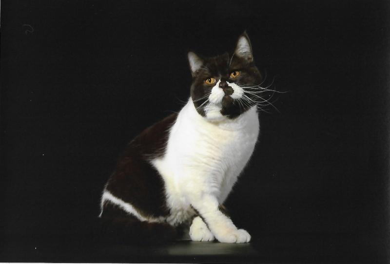 Des chatons british et scottish - Page 2 Loulou11