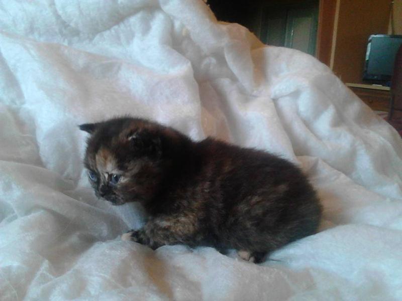 Des chatons british et scottish - Page 2 Mia3se10