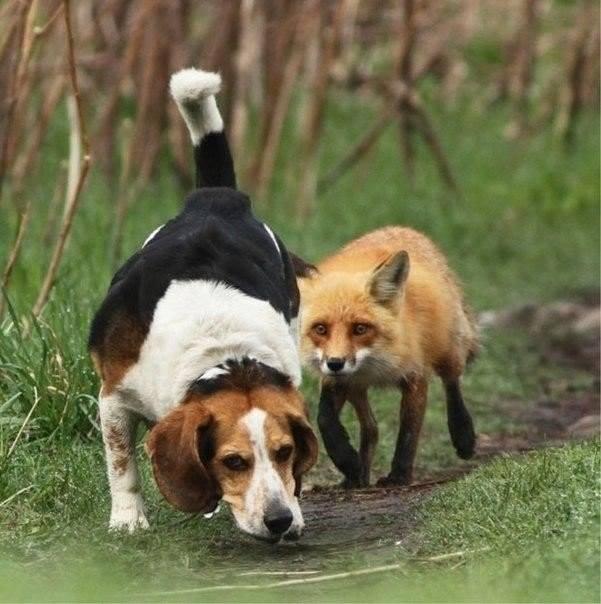 Chien croisé beagle/griffon korthal Chien_10