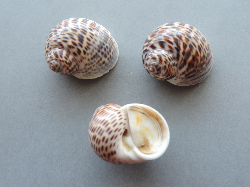 Notocochlis tigrina - (Röding, 1798) Dscn7812