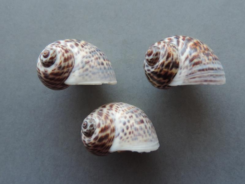 Notocochlis tigrina - (Röding, 1798) Dscn7813