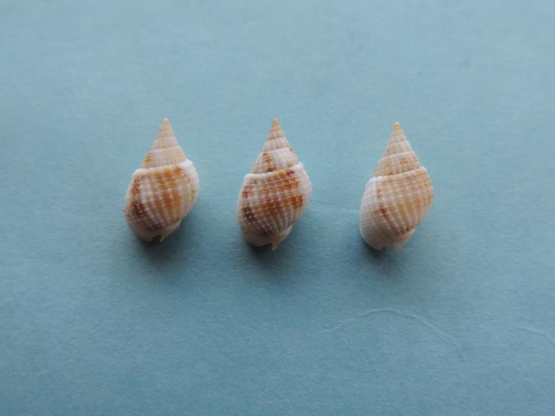 Nassarius candens - (Hinds, 1844) Dscn8011