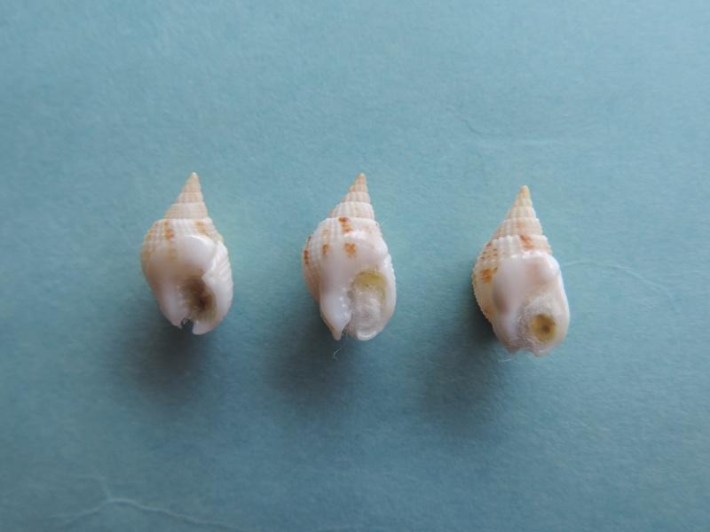 Nassarius candens - (Hinds, 1844) Dscn8012