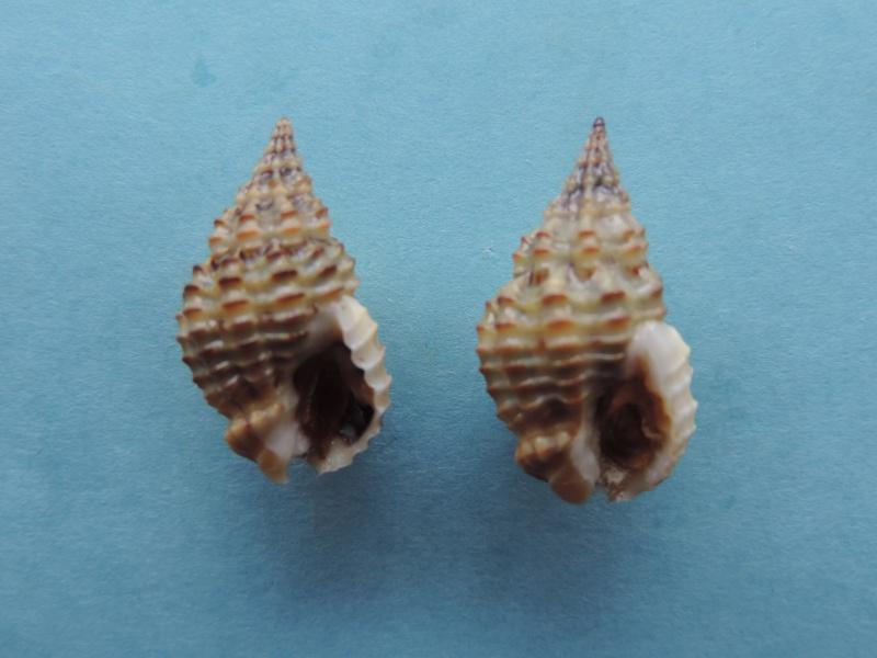 Nassarius myristicatus - (Hinds, 1844) Dscn8014