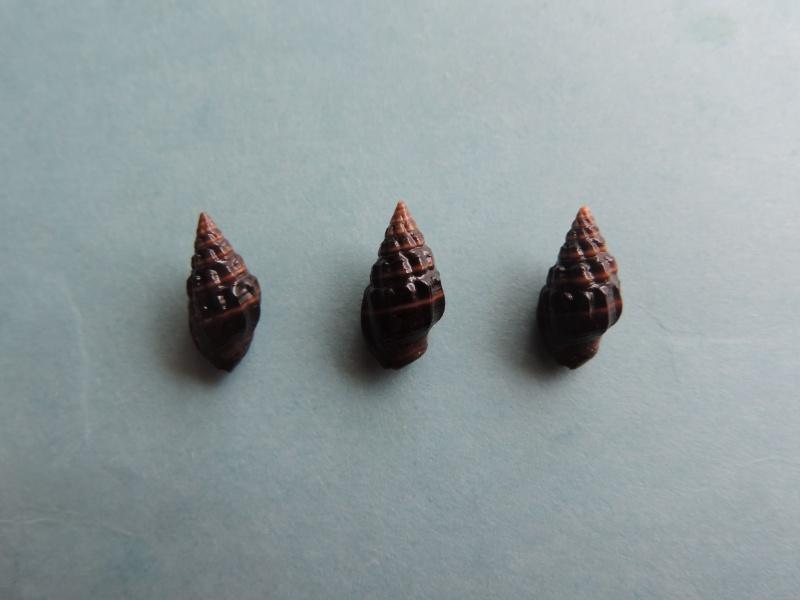 Nassarius niger - (Hombron & Jacquinot, 1848) Dscn8015