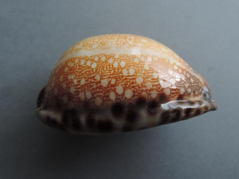 Mauritia arabica immanis - Schilder & Schilder, 1939  - Page 3 Dscn8041