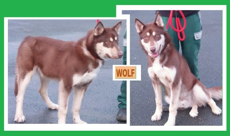 Wolf, Husky chocolat 1 an REFU62 / DE RETOUR A L'ADOPTION Wolf10