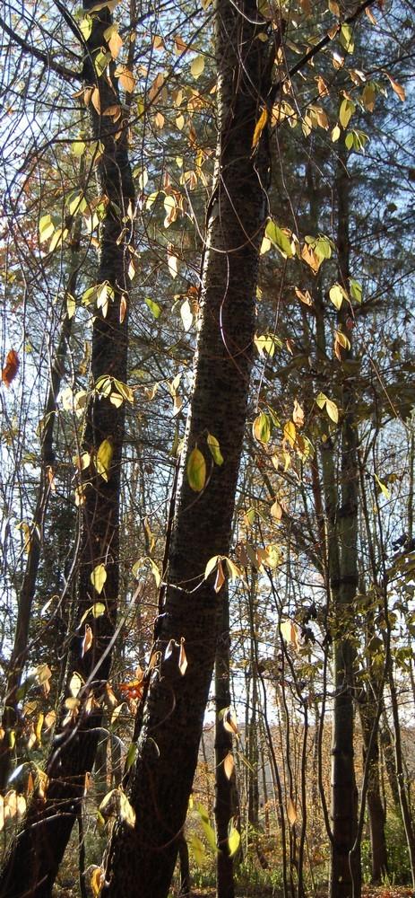 Hydrangeaceae grimpantes Decuma11