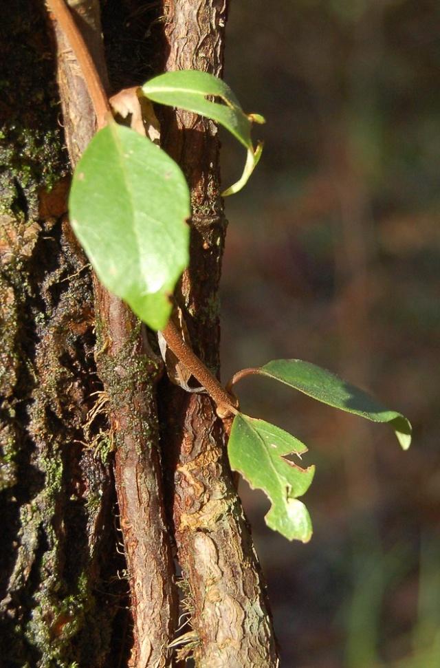 Hydrangeaceae grimpantes Decuma12